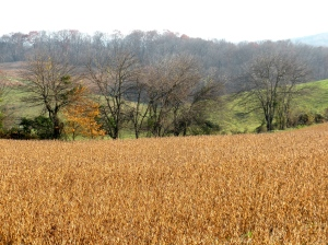 The yellow/brown of the soybean field in autumn