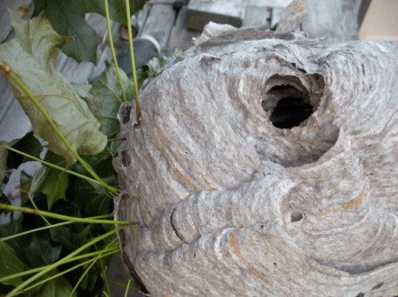 A bald-faced hornets nest