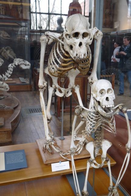 Orangutan skeletons