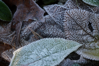 frost on the wooly lamb's ears