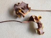 pods with seeds