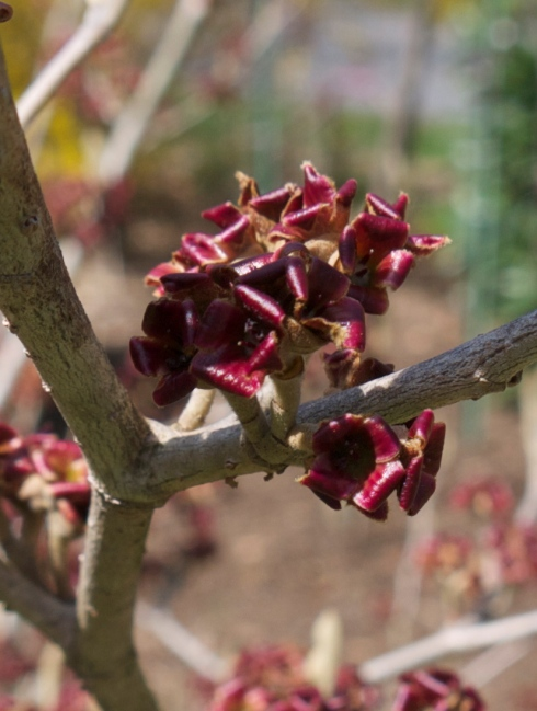 The end of the witch-hazel