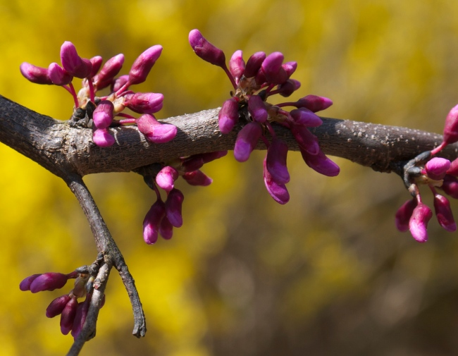 early redbud