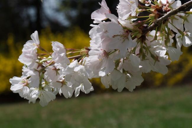yoshino cherry tree