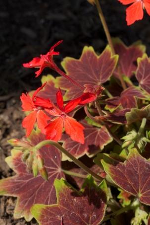 variegated geranium