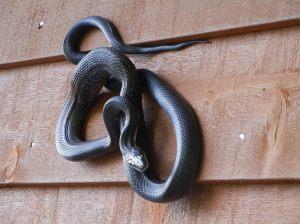 Melinda's snake