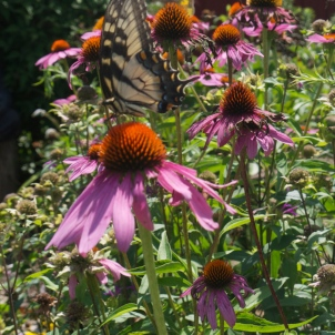 Butterfly in the Echinacea