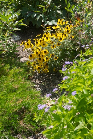 Rudbeckia in the pathway