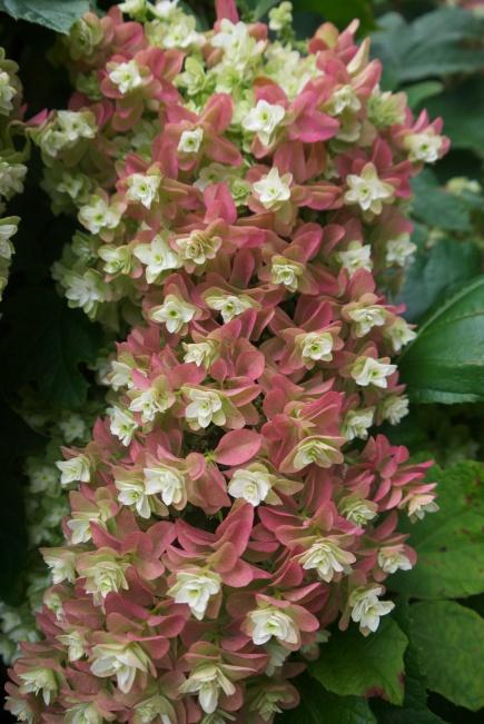 oak leaf hydrangea flower