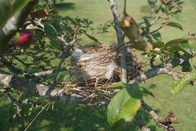 nest in the apple tree
