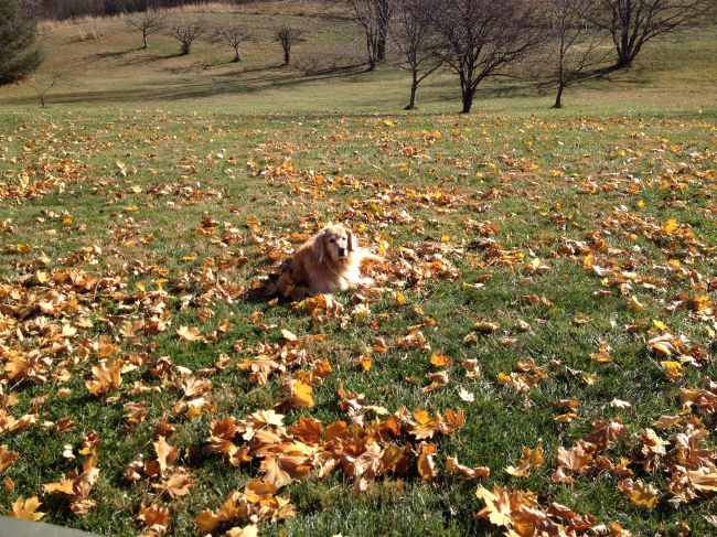 wishing we weren't taking away her leaf piles