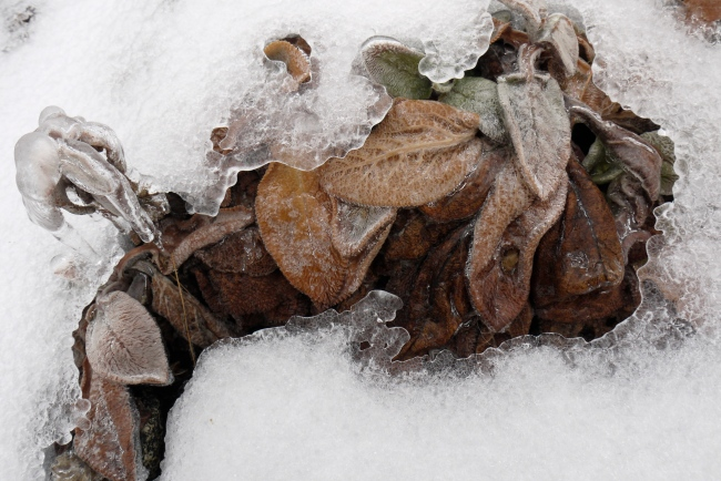wooly lamb's ears encased in ice