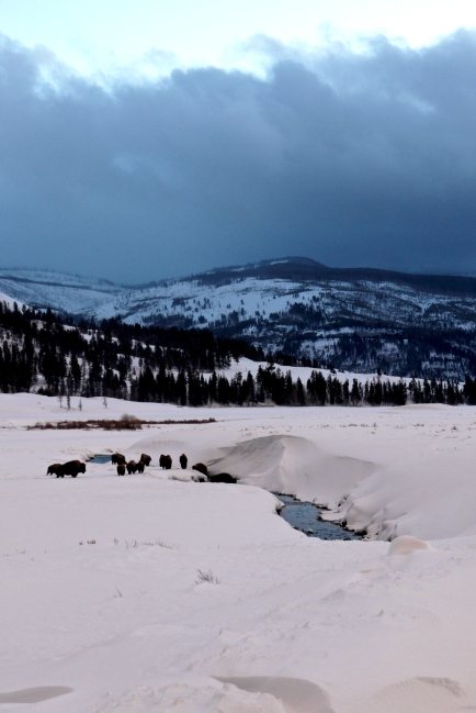 bison by the blue river