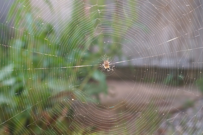 spider using everything around to anchor it's web