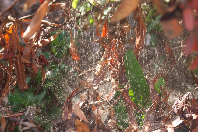 webs in the pyracantha