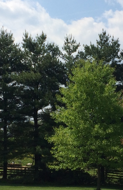 pine and oak