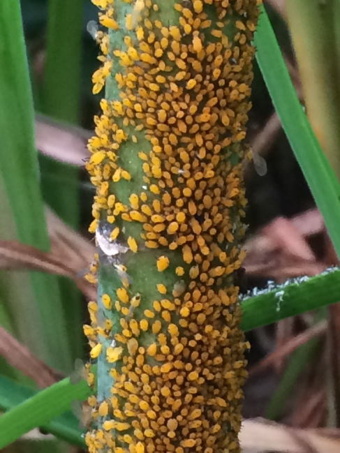 crawling with aphids