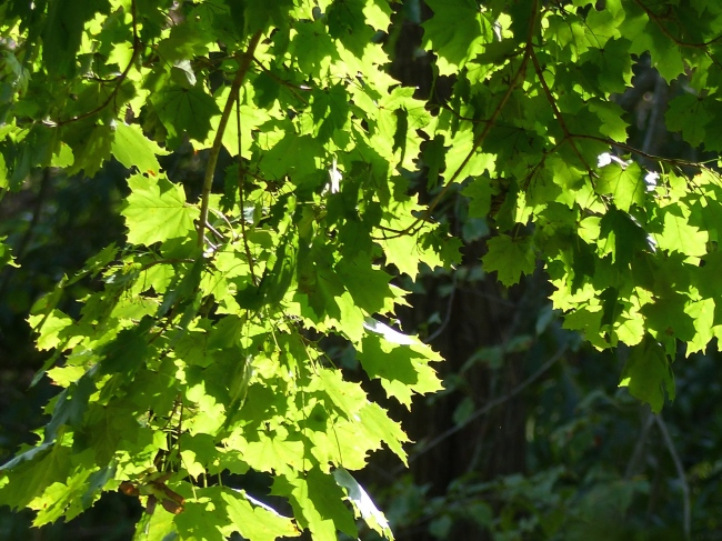 the last of the beautiful sun on the green leaves of the maple tree