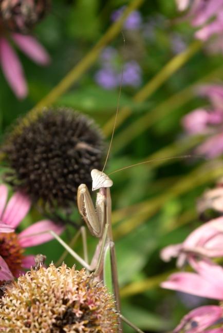 on the echinacea