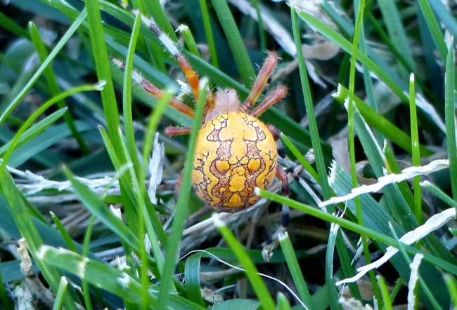 female marbled orb weaver