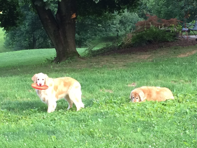 Lucy desperately wanting me to throw the frisbee, Ginger just wanting attention.