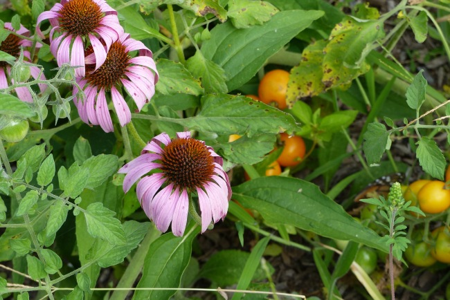behind the echinacea