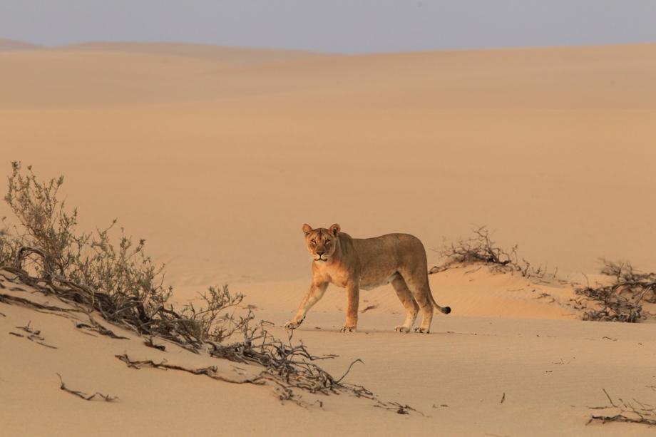 Namibias-desert-lion-Flip-Stander